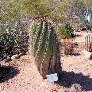 بذر کاکتوس ferocactus herrerae