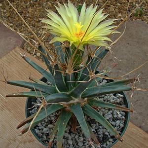 بذر کاکتوس leuchtenbergia principis