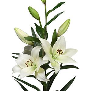 پیاز گل لیلیوم سفید هلندی ۱ عددی