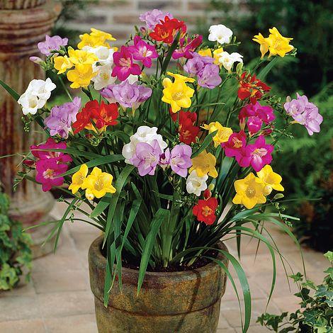 فروش پیاز گل فرزیا سال ۹۸