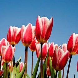 نگهداری از گل لاله و پیاز آن
