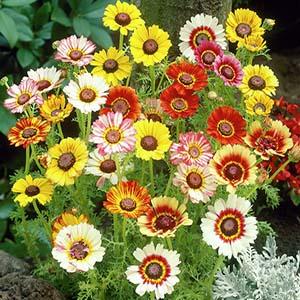 بذر گل داوودی کاریناتوم الوان
