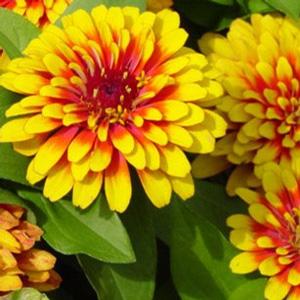 بذر گل آهار گلدرشت پاکوتاه دورنگ زرد و قرمز