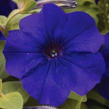 بذر گل اطلسی گلدرشت آبی تیره
