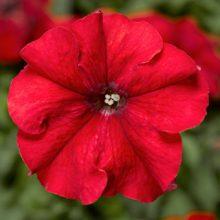 بذر گل اطلسی گلدرشت قرمز