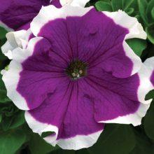 بذر گل اطلسی گلدرشت ارغوانی لب سفید