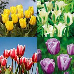 زمان و نحوه کاشت پیاز گل لاله