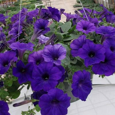 بذر گل اطلسی گلدرشت آبی