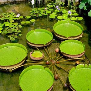 بذر گل نیلوفر آبی کمیاب ویکتوریا