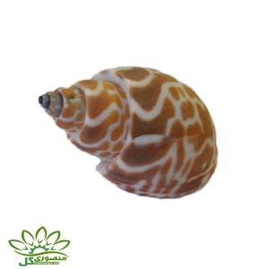 صدف دریایی کد ۰۷۴۱