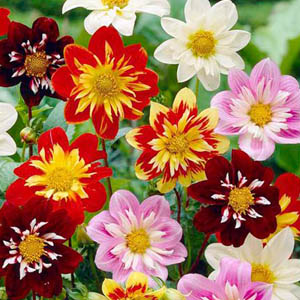 بذر گل کوکب harlequin الوان