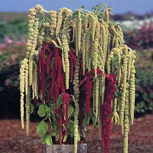 بذر گل آمارانتوس مجنون الوان