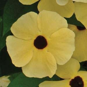 بذر گل پیچک سیاه چشم زرد