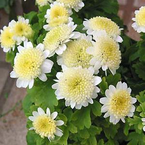بذر گل مخلصه