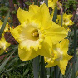 Narcissus_spellbinder