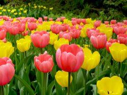 tulipa-4