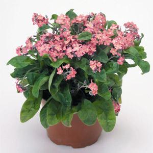 بذر گل myosotis rosylva
