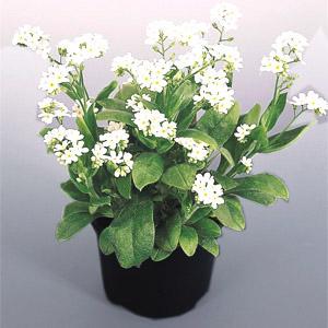 بذر گل myosotis snowsylva