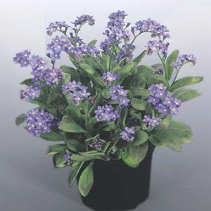 بذر گل Myosotis bluesylva