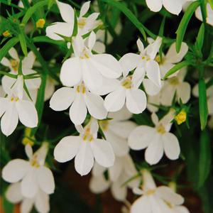 بذر گل lobelia white
