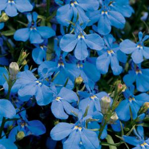 بذر گل lobelia sky blue
