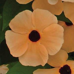 بذر گل پیچک سیاه چشم نارنجی
