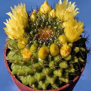 بذر مامیلاریا مارکسیانا گل زرد