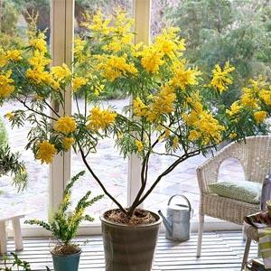 بذر درخت آکاسیا dealbata