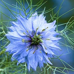 بذر گل سیاه دانه دمشقی آبی آسمانی