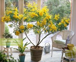 Houseplants in containers - Acacia dealbata, Acacia armata and Olea