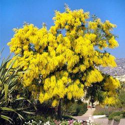 M/24/36 Mimosa ( Acacia dealbata )