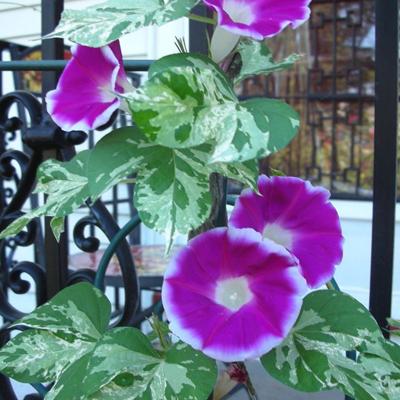 بذر گل نیلوفر پیچ برگ ابلق کمیاب