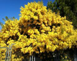 Acacia dealbata 1