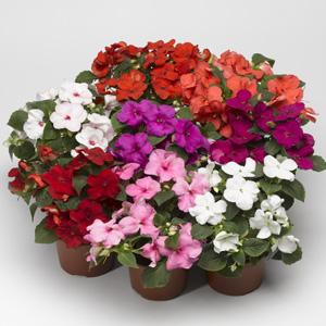 بذر گل امپاتیانس الوان