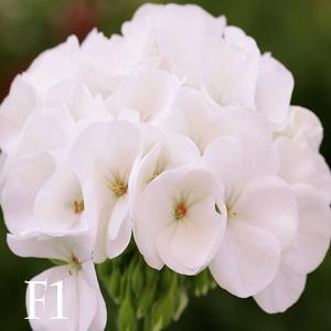 بذر شمعدانی سفید هلندی