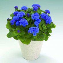 بذر گل ابری آبی پاکوتاه گلدانی