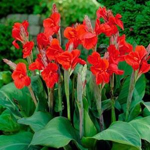 پیاز اختر برگ سبز گل قرمز مایل به سرخابی ۳ عددی