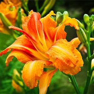 پیاز زنبق رشتی پرپر کمیاب