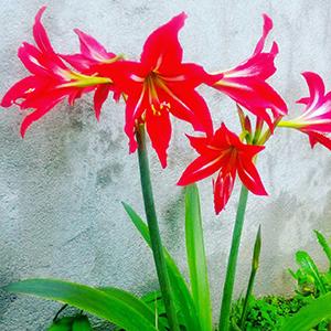 پیاز گل آماریلیس ۱عددی سایز درشت