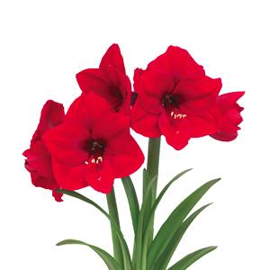 پیاز آماریلیس هلندی قرمز مدل مومی شده