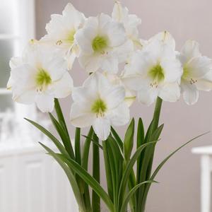 پیاز آماریلیس هلندی سفید مدل مومی شده
