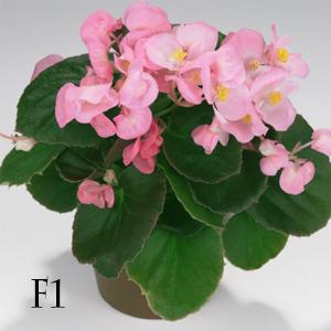 بذر گل بگونیا عروس رقم super olympia pink