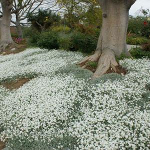 بذر گل Cerastium tomentosum