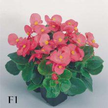 بذر گل بگونیا عروس رقم super olympia rose