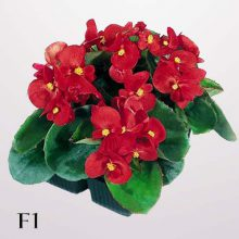 بذر گل بگونیا عروس رقم super olympia red