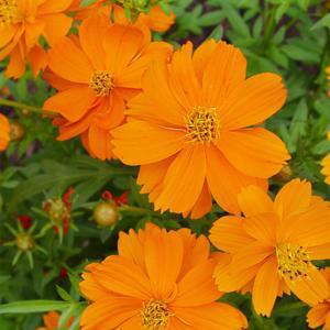بذر گل ستاره ای نارنجی