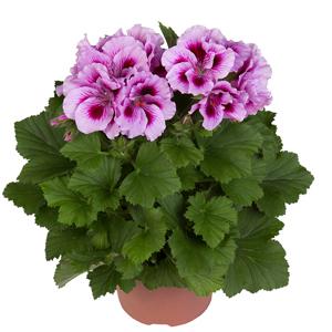 نگهداری و مراقبت از گل شمدانی اژدر