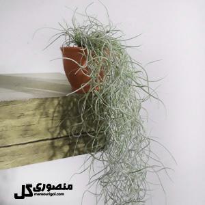 گیاه هوازی آویز مدل گلدانی