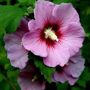 بذر گل ختمی درختی صورتی
