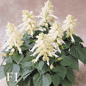 بذر گل سلوی پاکوتاه سفید